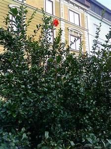 Laubbaum Mit Roten Blättern : strauch mit roten bl ten baumkunde forum ~ Frokenaadalensverden.com Haus und Dekorationen