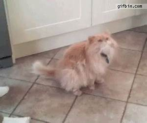 Cat Ham Fail | Best Funny Gifs Updated Daily