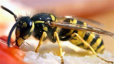 was machen wespen wespen oder bienen stich infos und wann sie den notruf 112 w 228 hlen m 252 ssen gesundheit