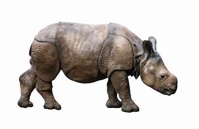 Rhino Animal Wild Badak Young Zoo Icon