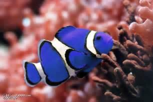 Blue Clown Fish