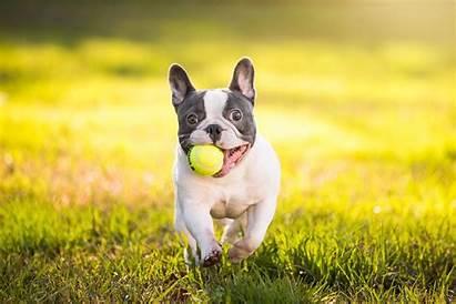 Bulldog French Ball Wallpapers Bulldogs Cool Landscape