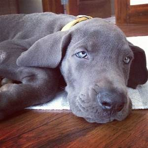 grey greatdane pup with blue eyes | aniMALS | Pinterest ...
