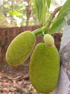 Trees Planet: Artocarpus heterophyllus – Jackfruit - Jack ...