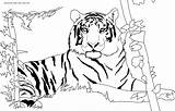 Tiger Coloring Pages Printable Animal Detailed sketch template