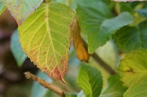 Hydrangea Paniculata Schneiden : hortensie krankheiten h ufige krankheiten bei hortensien ~ Lizthompson.info Haus und Dekorationen