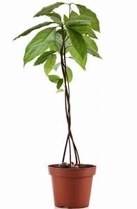 Planter Noyau Mangue : comment planter un noyau de peche ~ Melissatoandfro.com Idées de Décoration