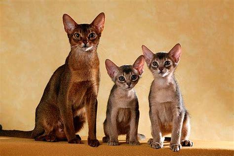 katzenrassen mit bild von  bis  die tierexperten