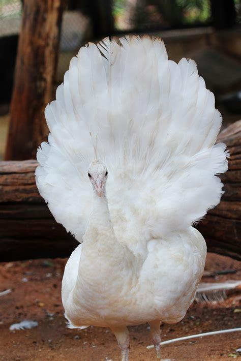 nice peacock images   allfreshwallpaper