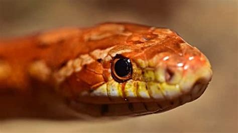 How Often To Snakes Shed by How Often Do Corn Snakes Shed Their Skin Snakes For Pets
