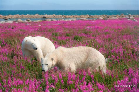 adorable pics  polar bears playing  flower fields