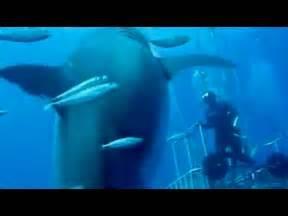 Biggest Great White Shark Ever