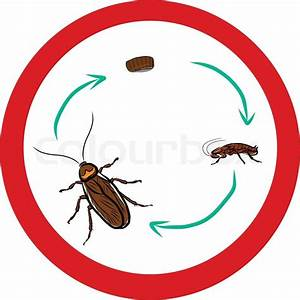 Cockroach life-cycle | Stock Vector | Colourbox