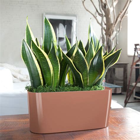 Best Windowsill Plants by Sansevieria Windowsill White House Plants Decor House