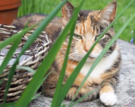 forl feline odontoklastische resorptive laesionen bei katzen