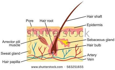 Skin Cell Diagram Label by Diagram Of The Skin