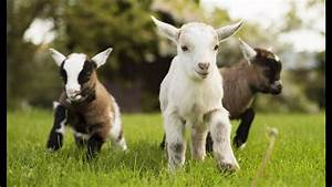 Funniest Baby Goat Videos Compilation  New Hd