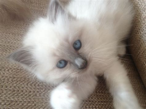 kitten for sale adorable birman kittens for sale nottingham