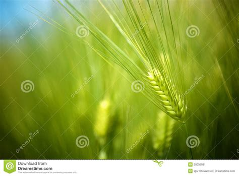 Background Crop Green Wheat Crops Field Growing In Cultivated
