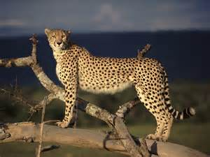 cheetah cat cheetahs dangerous animals with great speed free