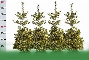 Ilex Golden King : ilex x altaclerensis golden king golden holly wykeham mature plants ~ Frokenaadalensverden.com Haus und Dekorationen