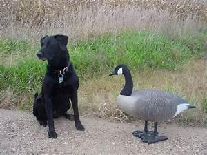 Minnesota Early Goose Hunting