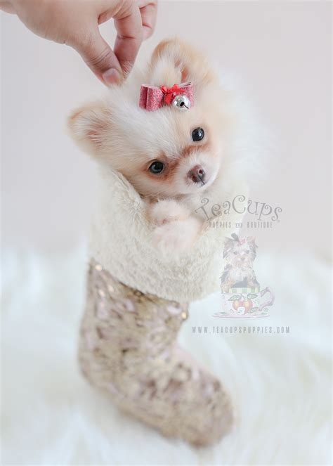 Tiny Teacup Chihuahua Puppies For Sale In South Florida Teacups Puppies Boutique