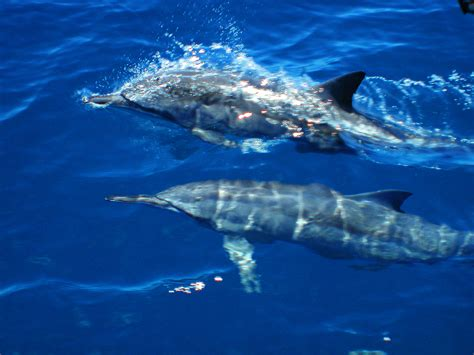 Spinner Dolphins Of The Great Barrier Reef Reef Biosearch