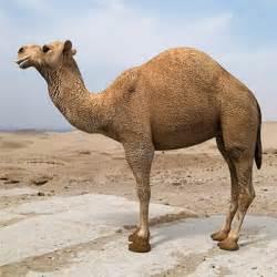 3d model arabian camel hump