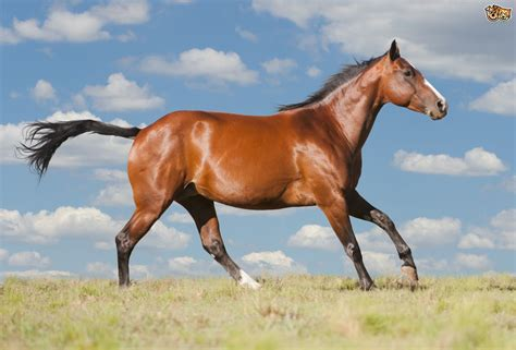 quarter american horse horses breeds pets4homes breed facts mile syndrome headshaking causes introduction muscular information