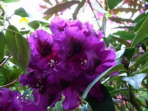 20 Best Images About Purple Rhododendrons On Pinterest