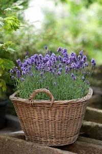 Lavendel Pflanzen Im Topf : lavendel blumen pinterest lavendel garten und garten lavendel ~ Frokenaadalensverden.com Haus und Dekorationen