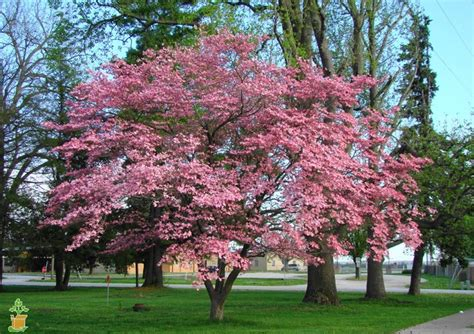 planting a dogwood pink dogwood tree pink dogwood trees for sale the planting tree