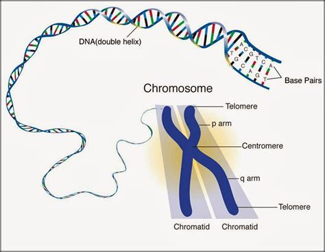 Genetic Diagram Gene Dna by 127 Chromosomes Dna Genes And Alleles Biology Notes