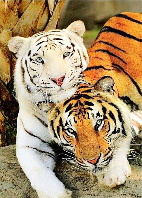 Best Eye The Tiger Images Pinterest Big Cats