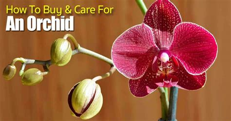 how to care for orchids how to buy and care for an orchid