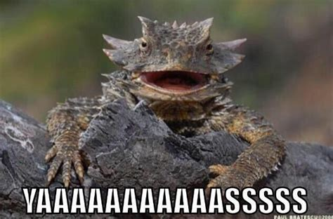 Horny Toad Meme - 41 best horny toad images on pinterest horned lizard lizards and reptiles