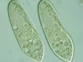 Paramecium Cells