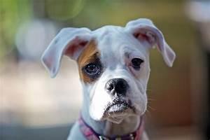 White Boxer Dog Face | www.pixshark.com - Images Galleries ...