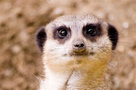 Cute Meerkats Photos Amo Images Amo Images
