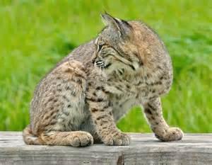 louisiana cat cat species in louisiana poc
