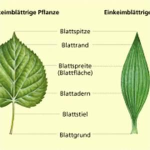 Bau Der Pflanze : laubbl tter in biologie sch lerlexikon lernhelfer ~ Lizthompson.info Haus und Dekorationen