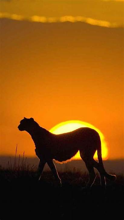 African Iphone Animal Leopard Phone Mobile Wallpapers