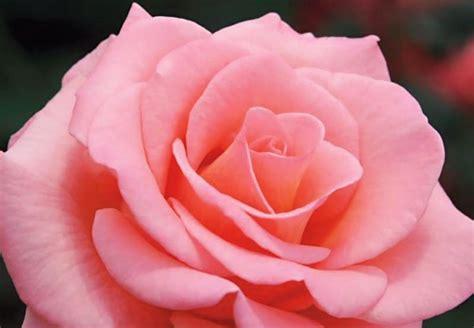 Maybe you would like to learn more about one of these? Gambar Bunga Mawar Lengkap Dengan Jenis-jenisnya
