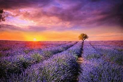 Lavender Field Sunset 4k Canvas Sunrise Wallpapers