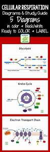 Cellular Respiration Diagrams And Study Guide