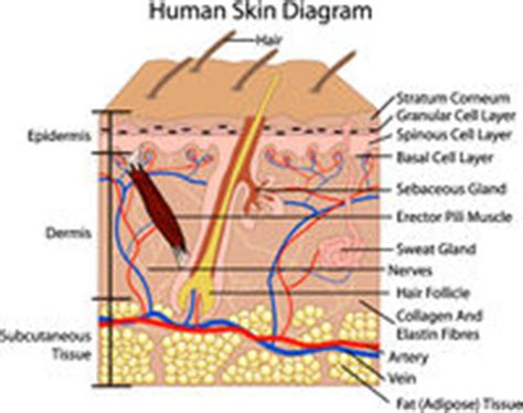 Skin Cell Diagram Label by Histologic Chapter 18 Pathology Education