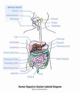 Lady Gaga  Blank Digestive System Diagram Kids
