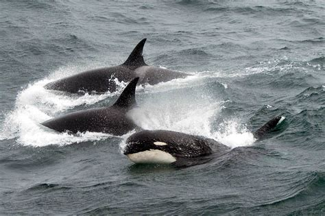 Rare Breed Of Killer Whale May Be New Species