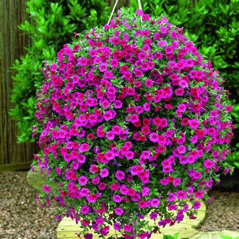 million bells 7 beautiful flowers to grow in hanging planters on your porch or balcony better housekeeper